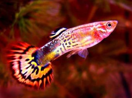 dihi-guppy-fish